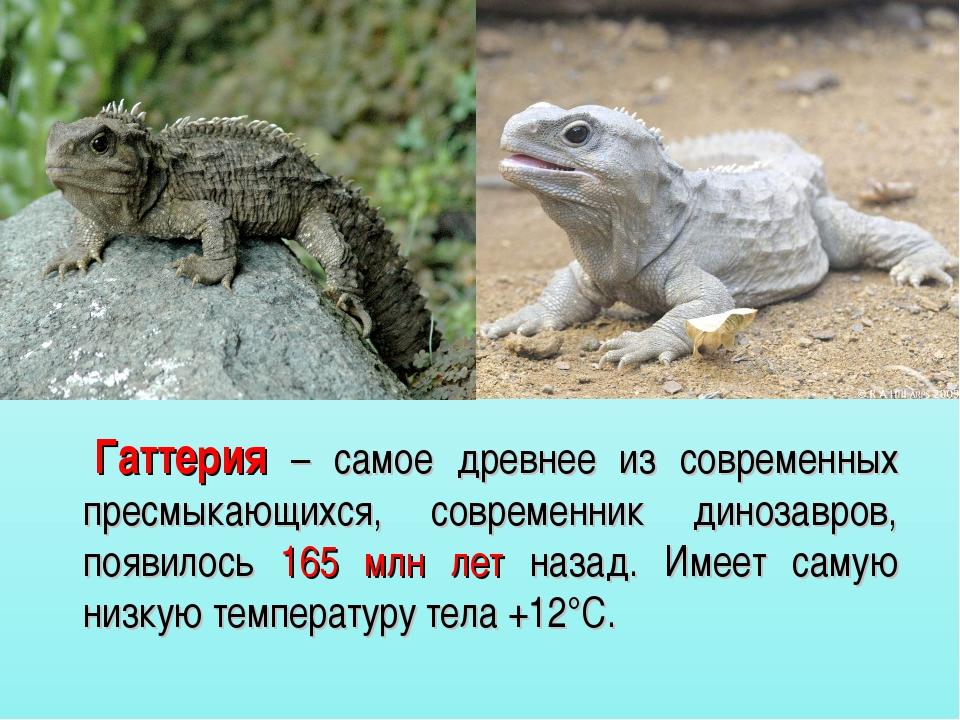 Гаттерия – самое древнее из современных пресмыкающихся, современник динозавр...