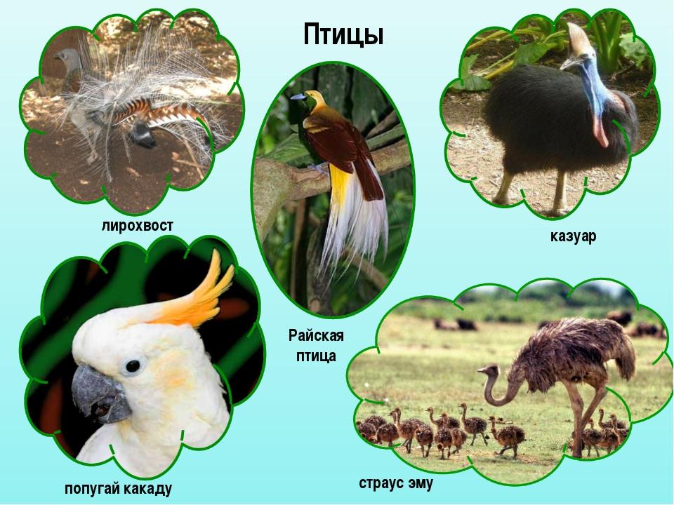 Птицы лирохвост казуар попугай какаду страус эму Райская птица