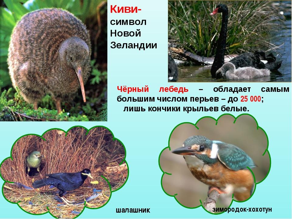 Чёрный лебедь – обладает самым большим числом перьев – до 25 000; лишь кончик...