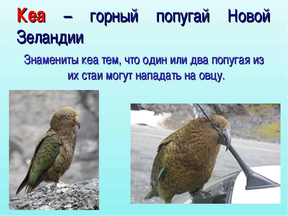 Кеа – горный попугай Новой Зеландии Знамениты кеа тем, что один или два попуг...