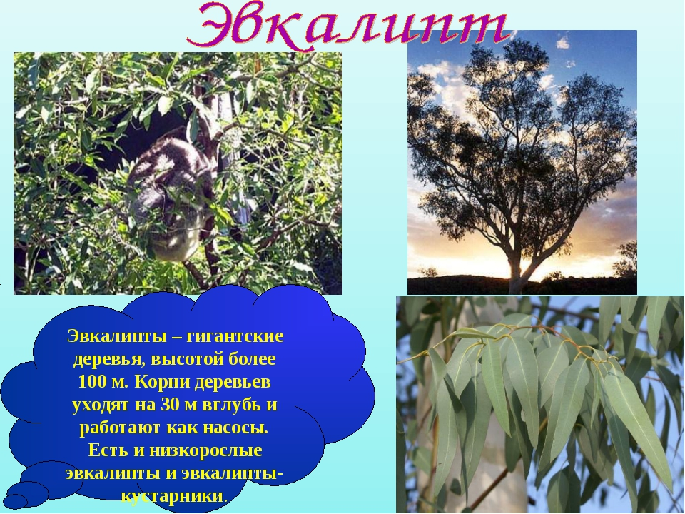 Эвкалипты – гигантские деревья, высотой более 100 м. Корни деревьев уходят на...