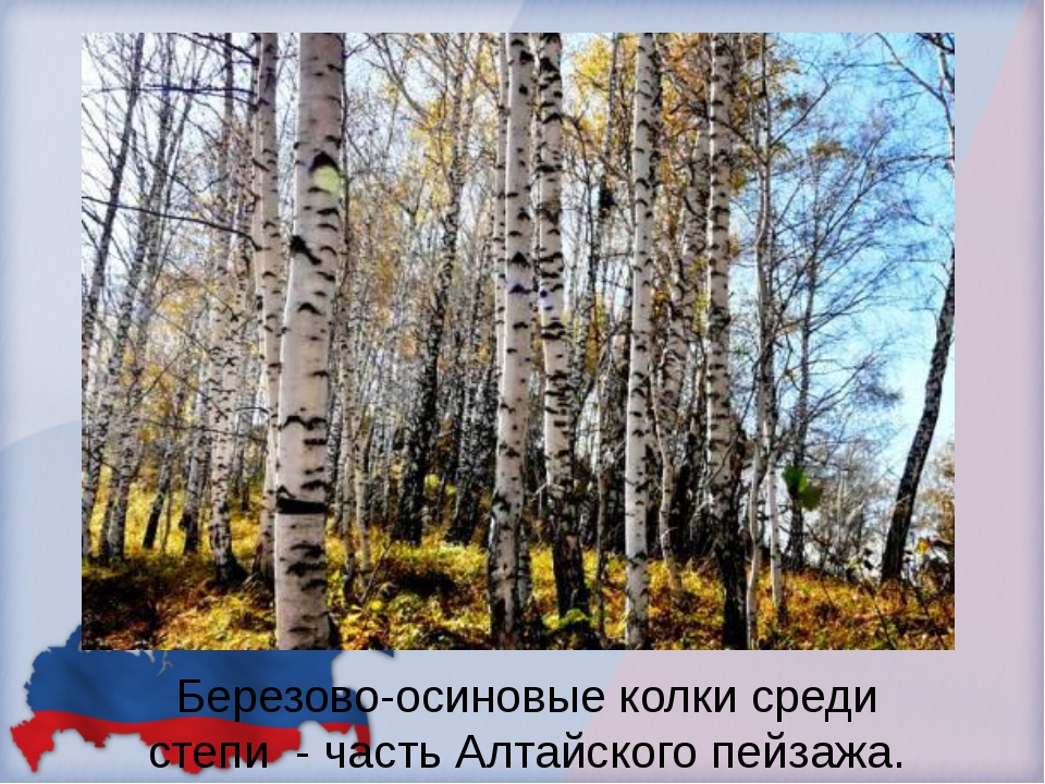 Березово-осиновые колки среди степи - часть Алтайского пейзажа.