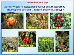 Растительный мир Летом тундра покрывается разноцветным ковром из стелющихся р