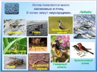 Летом появляется много насекомых и птиц. В почве живут «мусорщики». Долглнож