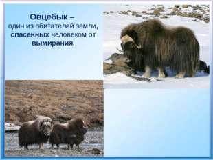 Овцебык – один из обитателей земли, спасенных человеком от вымирания.