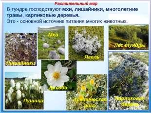 Растительный мир В тундре господствуют мхи, лишайники, многолетние травы, ка