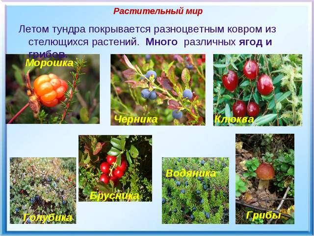 Растительный мир Летом тундра покрывается разноцветным ковром из стелющихся р...