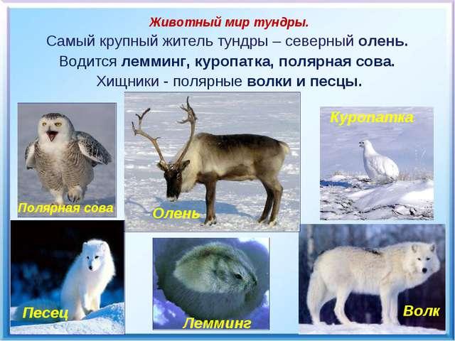 Олень Животный мир тундры. Самый крупный житель тундры – северный олень. Води...