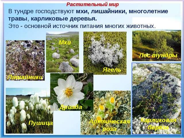 Растительный мир В тундре господствуют мхи, лишайники, многолетние травы, ка...