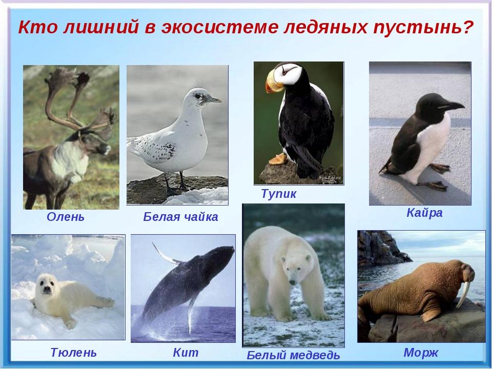 Белый медведь Кто лишний в экосистеме ледяных пустынь? Тупик Кайра Тюлень Мор...