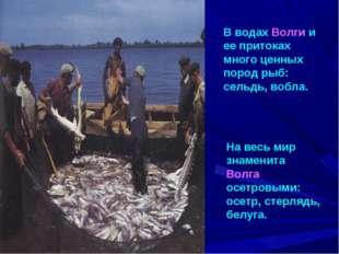В водах Волги и ее притоках много ценных пород рыб: сельдь, вобла. На весь ми