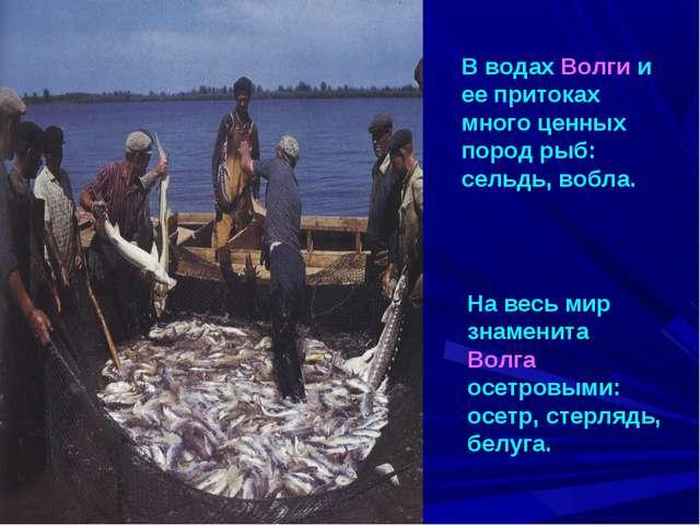 В водах Волги и ее притоках много ценных пород рыб: сельдь, вобла. На весь ми...