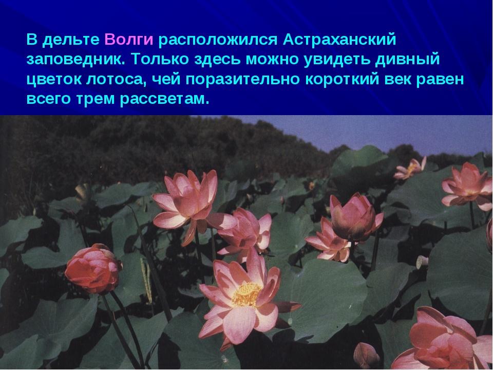 В дельте Волги расположился Астраханский заповедник. Только здесь можно увиде...