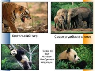Панда, ее еще называют бамбуковым медведем. Семья индийских слонов Бенгальски