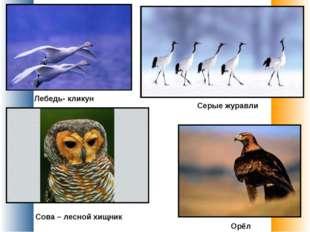 Лебедь- кликун Серые журавли Сова – лесной хищник Орёл