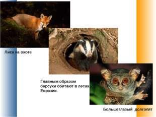 Лиса на охоте Главным образом барсуки обитают в лесах Евразии. Большеглазый д