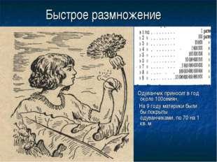 Быстрое размножение Одуванчик приносит в год около 100семян. На 9 году матери