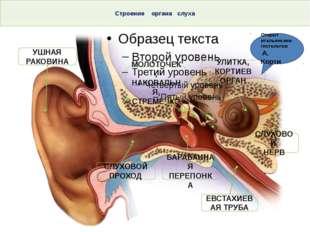 Строение органа слуха Тема. Строение и функции слухового анализатора. Гигиен