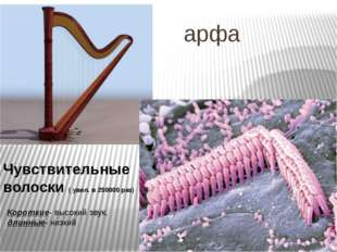 арфа Чувствительные волоски ( увел. в 250000 раз) Короткие- высокий звук, дл