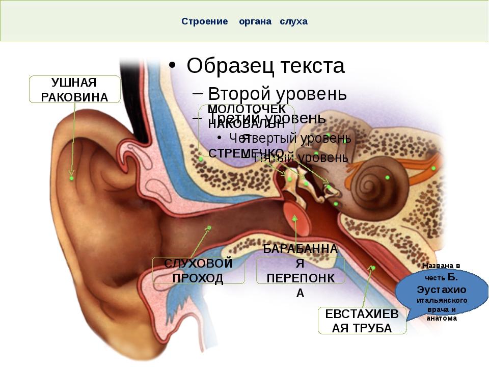 Строение органа слуха Тема. Строение и функции слухового анализатора. Гигиен...