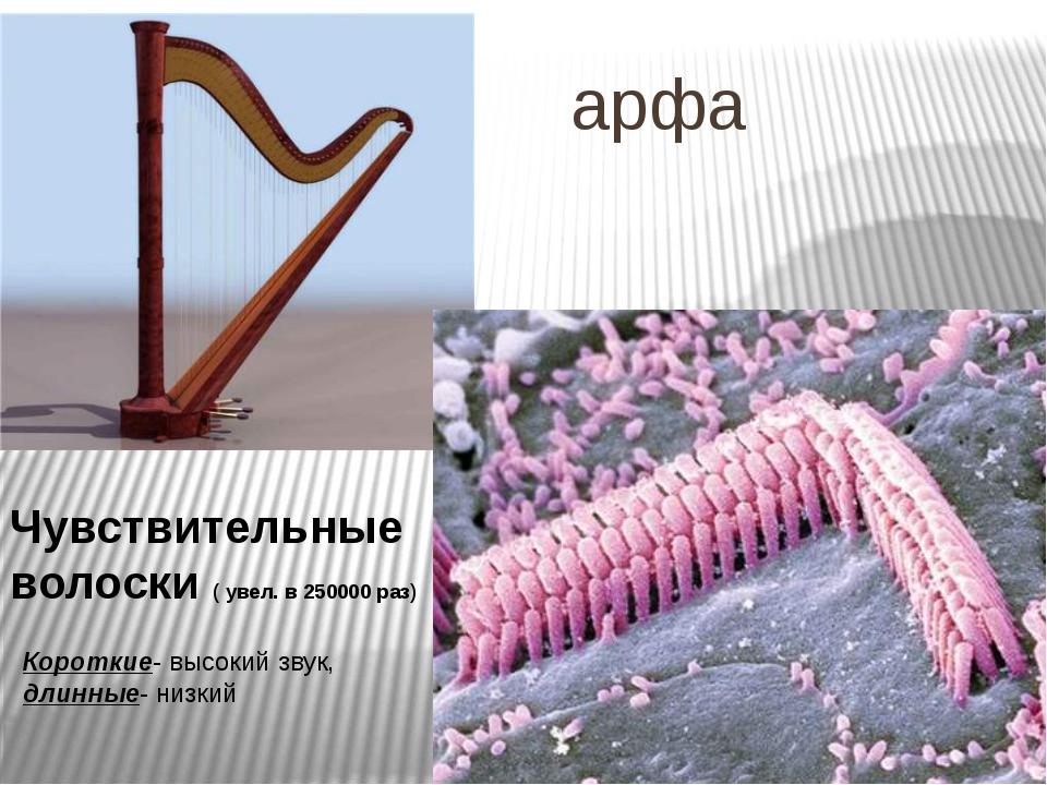 арфа Чувствительные волоски ( увел. в 250000 раз) Короткие- высокий звук, дл...