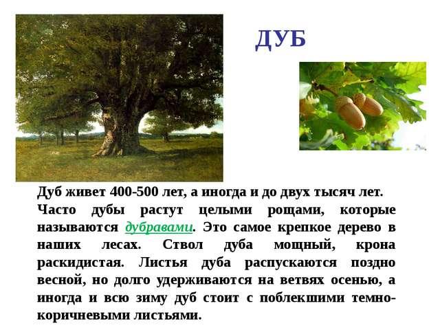 ДУБ Дуб живет 400-500 лет, а иногда и до двух тысяч лет. Часто дубы растут це...
