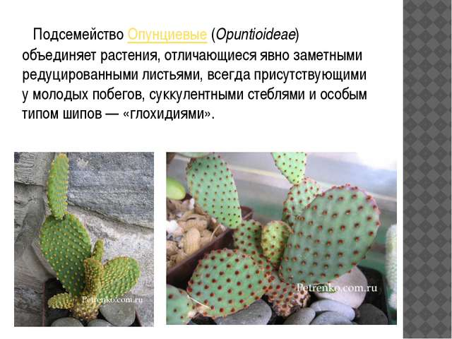ПодсемействоОпунциевые(Opuntioideae) объединяет растения, отличающиеся явн...
