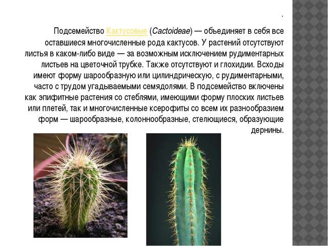 . . ПодсемействоКактусовые(Cactoideae)— объединяет в себя все оставшиеся м...