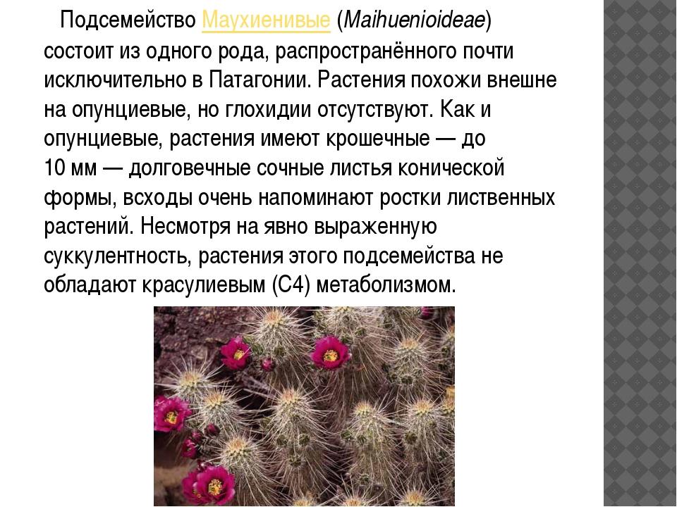 ПодсемействоМаухиенивые(Maihuenioideae) состоит из одного рода, распростра...