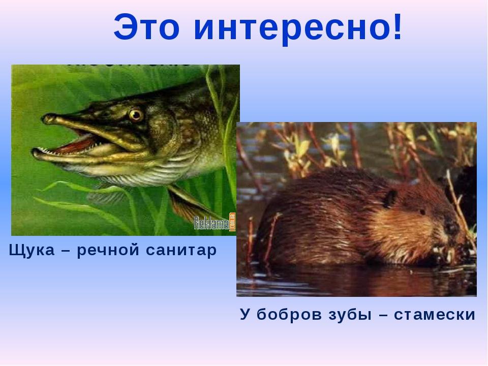 Это интересно! Щука – речной санитар У бобров зубы – стамески