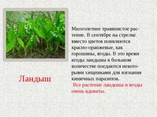 Многолетнее травянистое рас-тение. В сентябре на стрелке вместо цветов появля