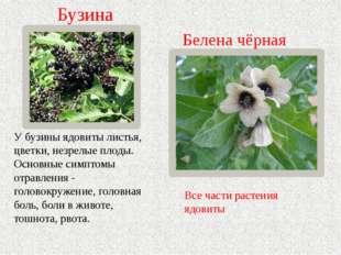 Белена чёрная Все части растения ядовиты У бузины ядовиты листья, цветки, нез