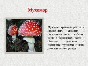 Мухомор Мухомор красный растет в лиственных, хвойных и смешанных лесах, особе