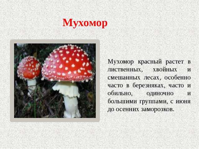 Мухомор Мухомор красный растет в лиственных, хвойных и смешанных лесах, особе...