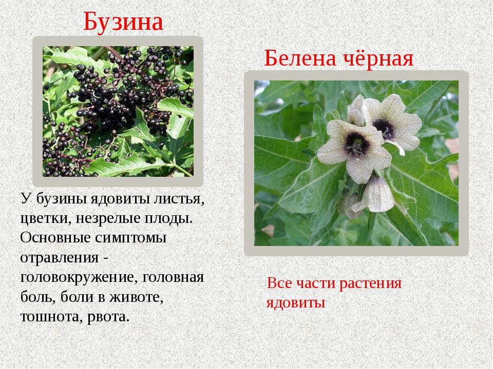 Белена чёрная Все части растения ядовиты У бузины ядовиты листья, цветки, нез...