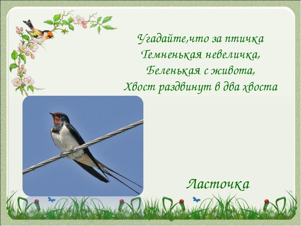 Угадайте,что за птичка Темненькая невеличка, Беленькая с живота, Хвост раздви...