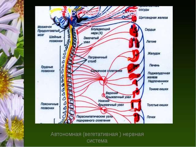 Автономная (вегетативная ) нервная система