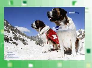 Родина сенбернаров – крупных собак специальной породы, выведенных для поиска