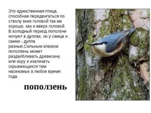 Это единственная птица, способная передвигаться по стволу вниз головой так же