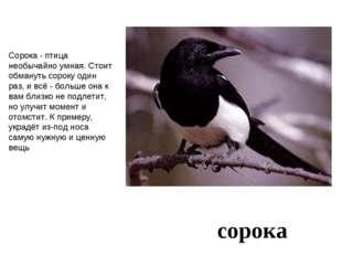 сорока Сорока - птица необычайно умная. Стоит обмануть сороку один раз, и всё