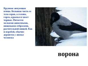 ворона Крупная зимующая птица. Большая часть ее тела серая, а голова, горло,