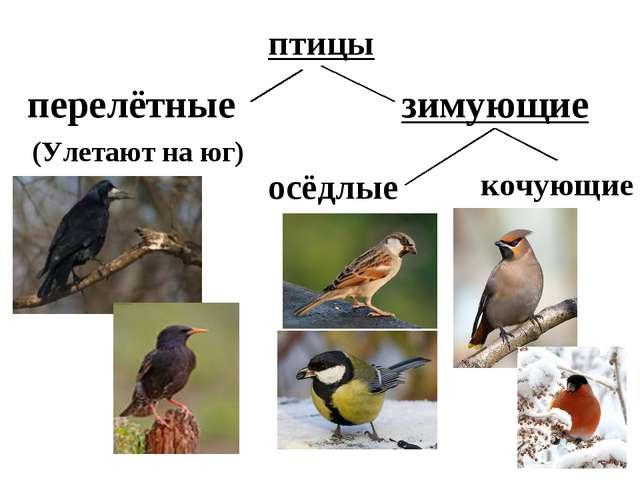 птицы перелётные зимующие осёдлые кочующие (Улетают на юг)