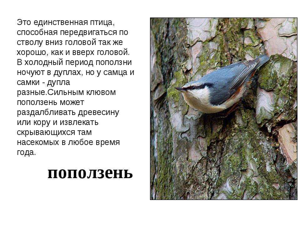 Это единственная птица, способная передвигаться по стволу вниз головой так же...