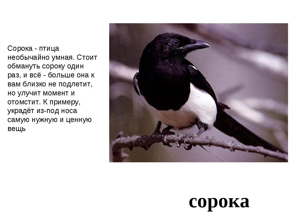 сорока Сорока - птица необычайно умная. Стоит обмануть сороку один раз, и всё...