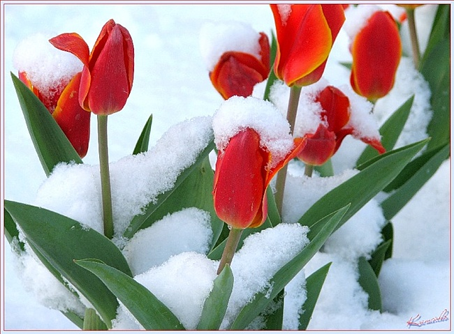 http://www.geogr.msu.ru/upload/iblock/e9e/Tulips-23.jpg