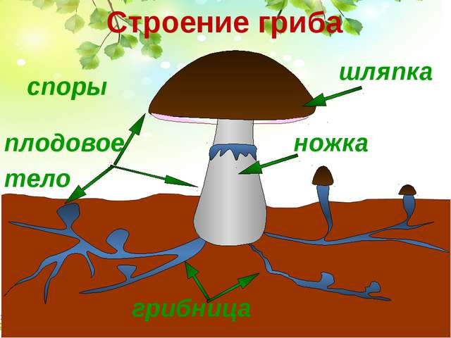 шляпка грибница плодовое тело ножка споры Строение гриба