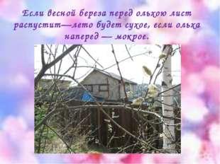Если весной береза перед ольхою лист распустит—лето будет сухое, если ольха н