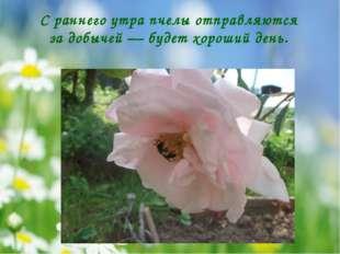 С раннего утра пчелы отправляются за добычей — будет хороший день.