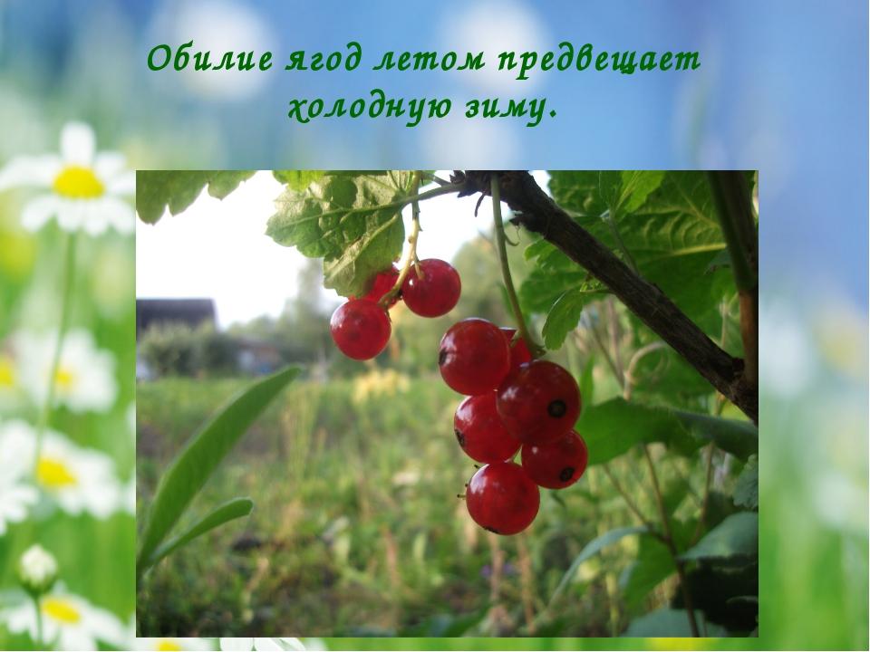 Обилие ягод летом предвещает холодную зиму.