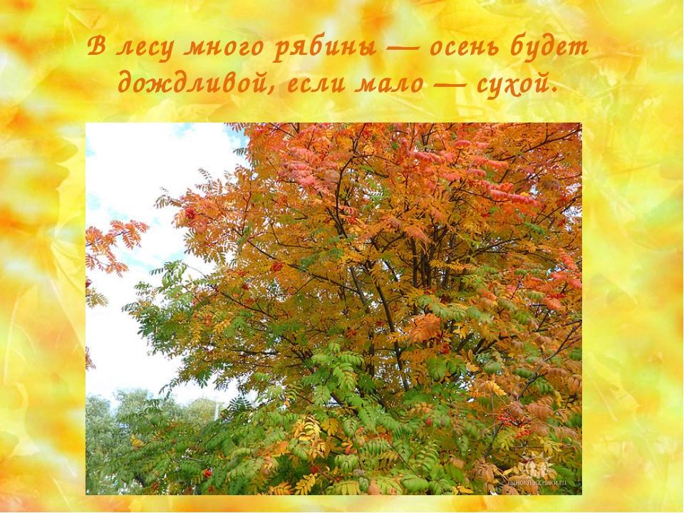 В лесу много рябины — осень будет дождливой, если мало — сухой.